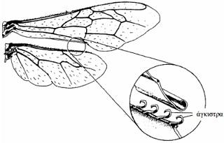 morfologia-melissas-3