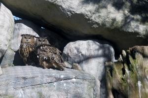 Berguv, hanne och hona, Skansen