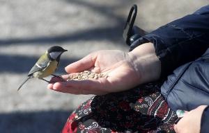 Talgoxe i handen, Skansen