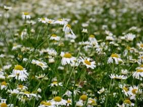 Angarnsjöängen, blommor