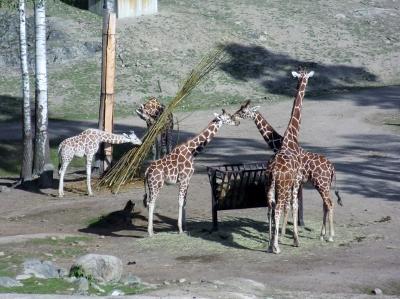 kolmarden-giraffer-fran-linbanan-safari-3