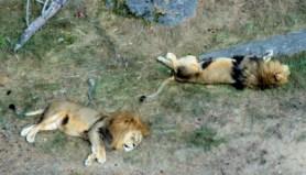 kolmarden-lejon-fran-linbanan-safari
