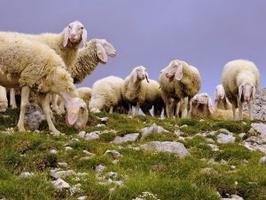 Pastoralisme Pyrénées Haut-Garonnaises