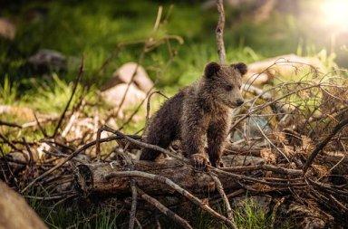 Hausse des naissances ours brun Pyrénées