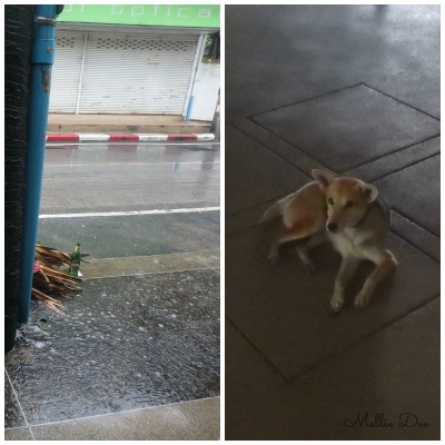 Dog | Phuket, Thailand