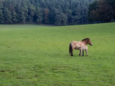 Cheval de de Przewalski