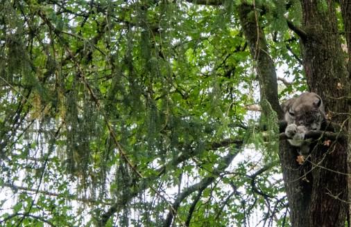 Sentier pédestre dans le Domaine des Grottes de Han: lynx boréal