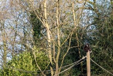 Un gibbon hurle dans le zoo de Lille