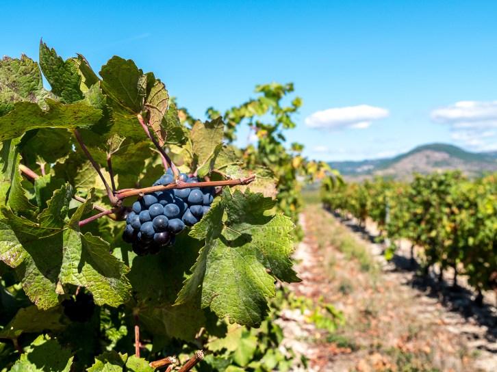 Vignoble de la Cave d'Alba-la-Romaine