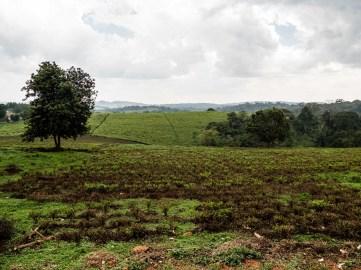 Plantation de thé, Ouganda