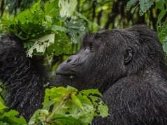 Gorille de Bwindi Impenetrable Forest,