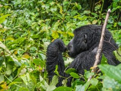 Gorille de Bwindi Impenetrable Forest