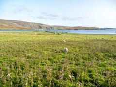 Shetland-23