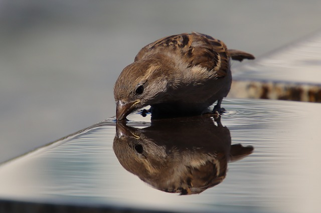 Sparrow drinking water