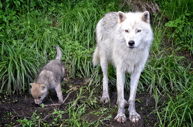 Father Wolf and his pup, Story on Wolves