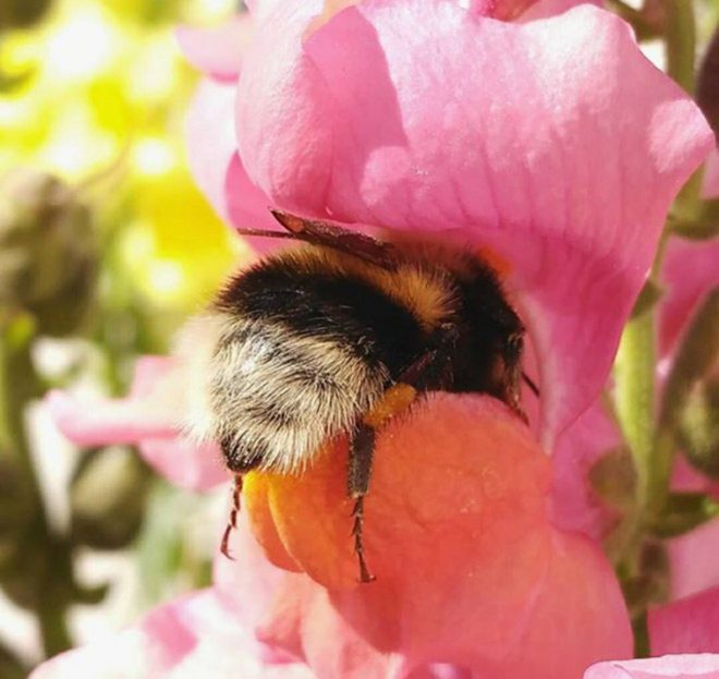 Importance of Bumblebees