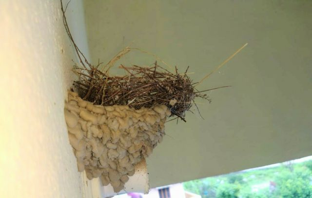 Red-vented Bulbul mud bank nest