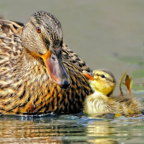 Baby Ducks Cute Pictures
