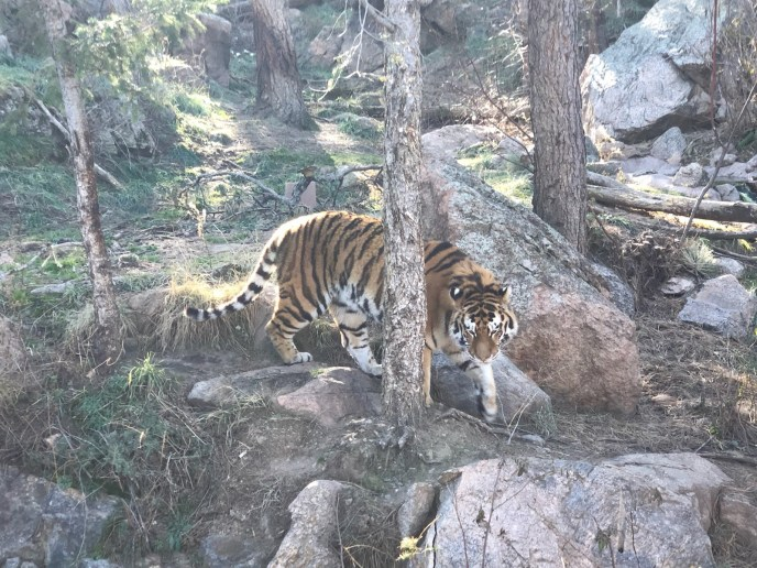Ok, I'll admit this isn't one of our cats, but a photo from the Cheyenne Mountain Zoo.