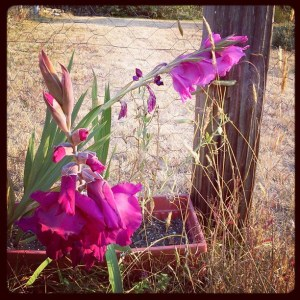 Two gladiolus stalks, one featuring magenta flowers, the other a paler pink shade.