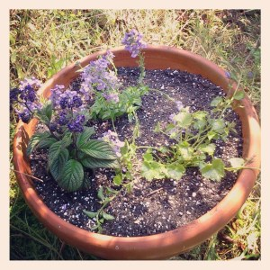 A planter with heliotrope and two other plants.