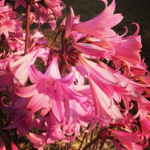 A profusion of naked ladies, the flower that is