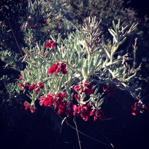 An Australian native plant with silvery foliage and tiny red flowers.