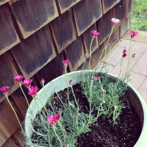A lovely red-pink daisy relative in a pot.