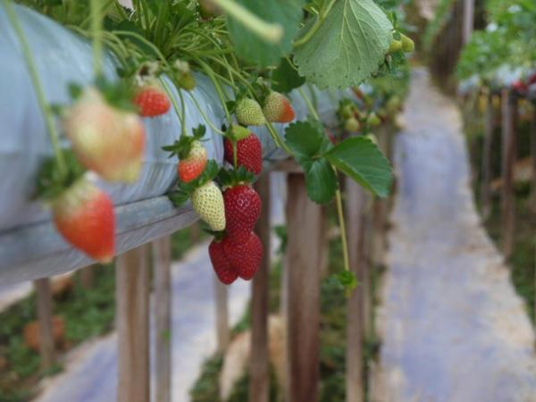 Fresas listas para ser recogidas en el invernadero Lavander Garden