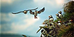 Several puffins are clustered on a grassy hill or shore while two more puffins come in for a landing.