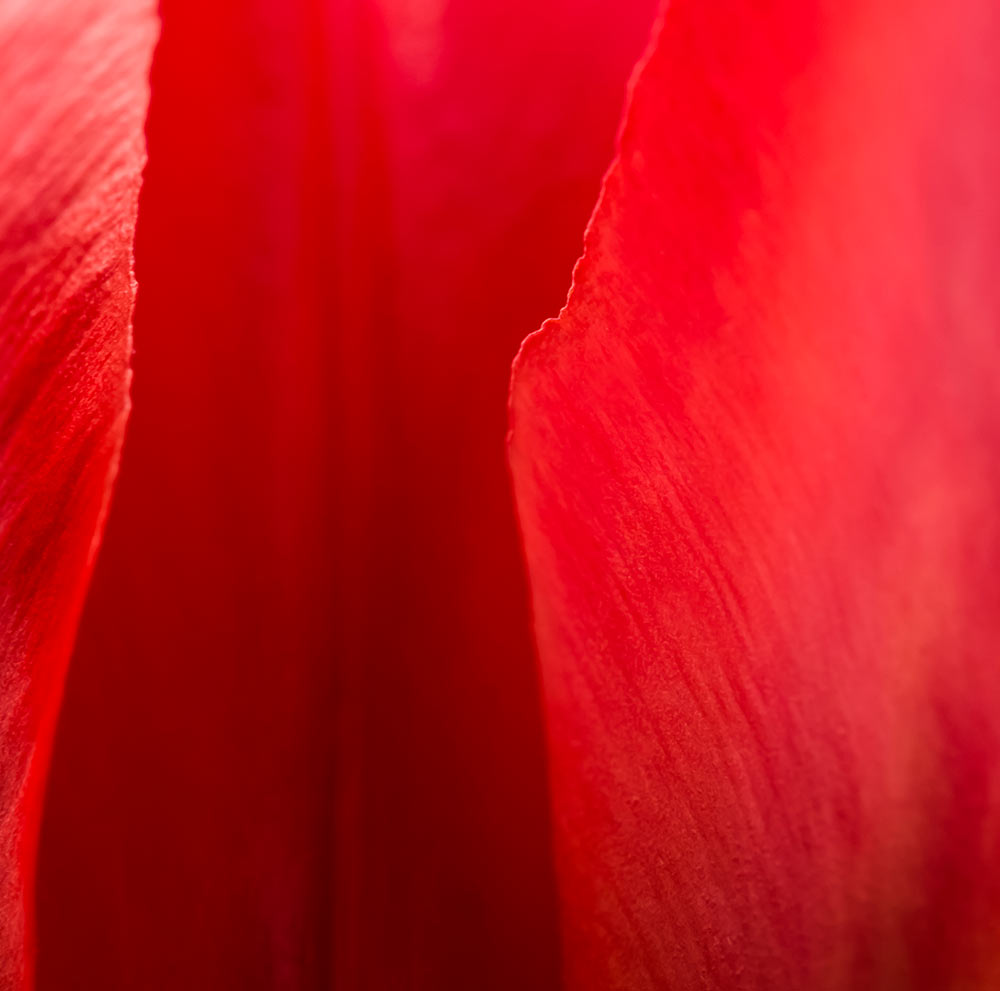 macro-tulip.jpg?fit=1000%2C991&ssl=1