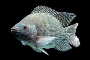 Gambar ikan nila