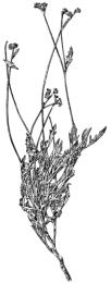 234px-PSM_V81_D321_Asa_gray_specimen_of_a_guayule_plant