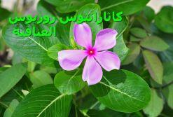 800px-Catharanthus_roseus24 العناقية)