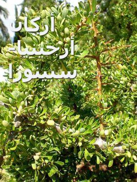 Argania_spinosaأرجينيا سبينوزا_2c