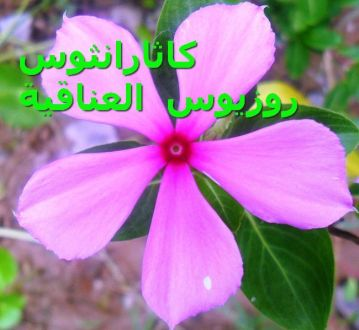 -Catharanthus_roseus_ العناقية)