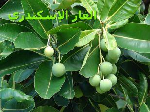 ا0-لغار الإسكندريCalophyllum_inophyllum