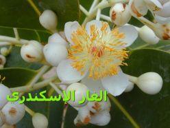 الغار الإسكندري79_Calophyllum_inophyllum