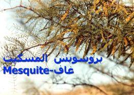 بروسوبس المسكيت Mesquite-غاف