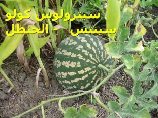 سيترولوس كولو سينتس - الحنظل -Citrullus_colocynthis_fruit1