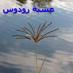 عشبة رودوسx-Chloris_gayana_1_(1)