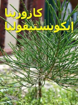 كازورينا إيكويستيفولياCasuarina_equisetifolia