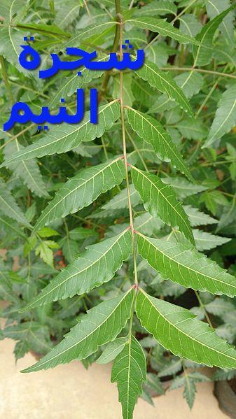 Neem_Tree_(Azadirachta_indica)