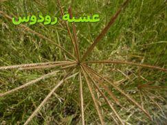 Rhodes_grass0_عشبة رودوس)