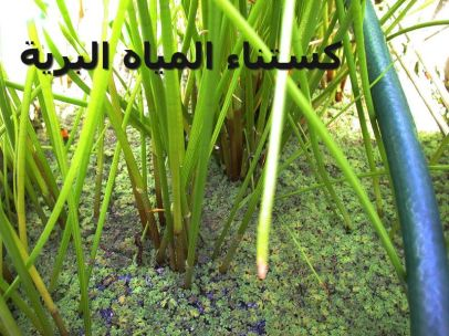 Waterchestnuts-كستناء المياه البرية