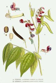 Lathyrus_montanus,_زهر الفول
