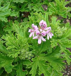 Pelargonium_'Graveolens'