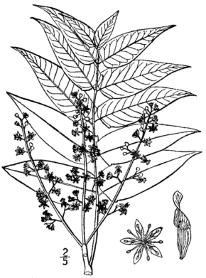 445px-Ailanthus_altissima_drawing