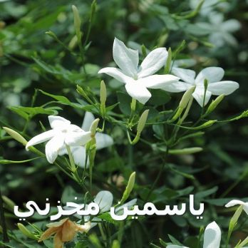 600px-Jasminum_officinale-IMG_3470