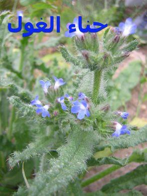 Anchusa_arvensis حناء الغول3
